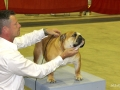 This is Aleesia at her second show...shown by Bernard Gagnon.  Sire: Drake QbecBulldogs       ( Canada pointed) Dam: Jolibully Chivas ( Canada pointed)