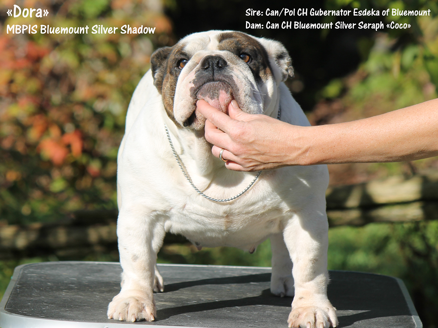 MBPIS CH Bluemount Silver Shadow , Female Bulldog #1 in Canada in 2016!